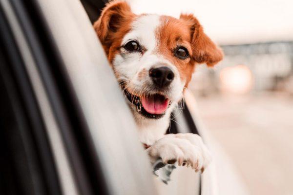 koerad pistavad nina auto aknast välja