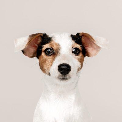 koerte kõrvad ja kuulmine